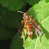 Red Paper Wasp (Polistes sp.) on Black-eyed Susan Leaf