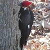 Pileated Woodpecker Taking Bark Off Tree