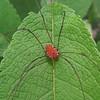 Red Harvestman Spider - Male Leiobunum verrucosum