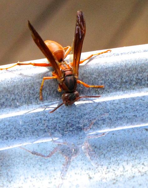 Wasp Drinking and Its Reflection in Birdbath