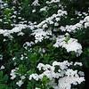 White Spirea in Bloom
