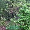 Snowflake Viburnum, Iris Greens Coming In, and Redbud Getting Leaves