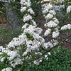 Fire Thorn Bush in Bloom (Pyracantha)