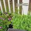 Wild Geraniums and Stonecrop Sedum on Deck