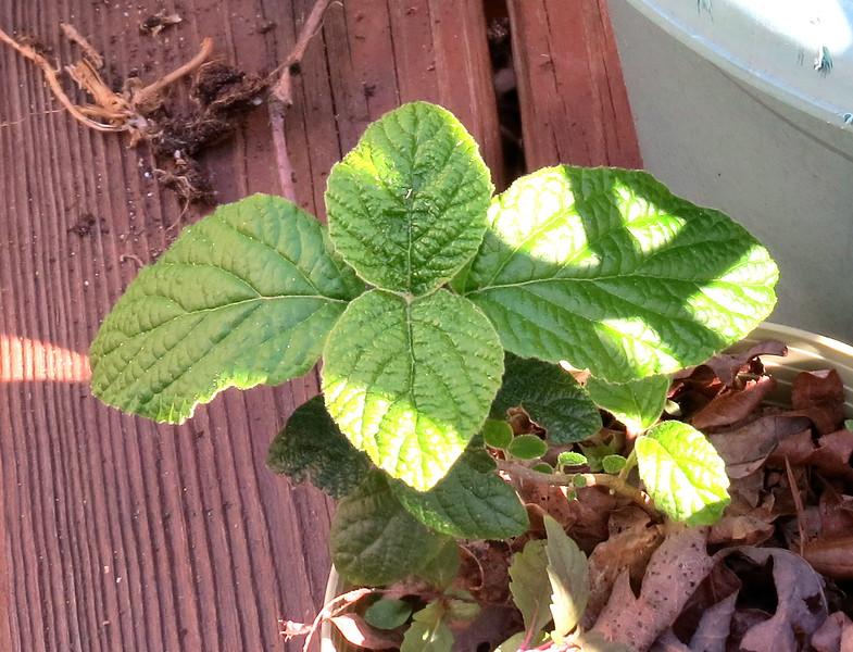 Viburnum Bush In a Deck Pot