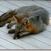Gray Fox Napping on Kathy & Bob's Deck - August 2012