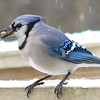 Blue Jay With Suet Ball - By Ken