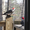 Two Pilated Woodpeckers on Deck - Photo by Ken Bushell