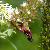 Ken Bushell - Hummingbird Moth