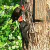 Pileated Woodpeckers Feeding - Ken's  - Photo by Ken Bushell