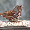 Fox Sparrow - Photo by Ken Bushell