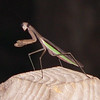 Praying Mantis by Ken Bushell