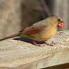 Female Cardinal - Photo by Ken Bushell