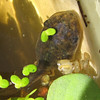 "Eastern Gray Tree Frog with Legs - Looks Like He's Growing Within a Clear Shell  9-21-10<br /> This ""shell"" came off at the time they transitioned into a little froglet - see later photo."