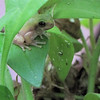 Frog Release Number One Hiding By Instinct Among the Petunia Leaves   9-25-10