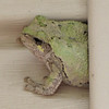 Eastern Gray Tree Frog Backed Into Trim on Siding - He Totally Disappears Behind It and Sleeps For the Day