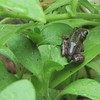 Frog Release Number 2 Into Petunias - Lots of Aphids For First Meal  9-26-10