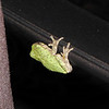Here's One Of Our Little Guys Coming Back To Visit - Guessing It Is Since We Don't Usually See Baby Tree Frogs On Our Deck  10-9-10