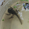 Tadpole Still Has Long Tail and Well-Developed Front Legs  9-24-10 at 3:00 PM<br /> By evening his tail was gone and he was a frog.