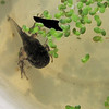 Tadpole Has Well-Developed Front Legs  9-24-10 at 3:00 PM<br /> By evening his tail was gone and he was a frog.