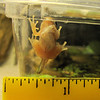 First Tadpole To Become a Froglet  9-24-10 at Midnight