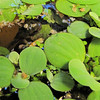 Now That The Tadpole Has Front Legs It Begins To Climb on Water Lettuce  9-24-10 at 7:30 AM