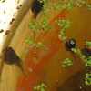 VIDEO:<br /> Eastern Gray Tree Frog Tadpoles Are Growing Legs  9-21-10