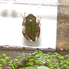 Frog Release Number 2 Climbing Out of the Water Ready for Land and Trees