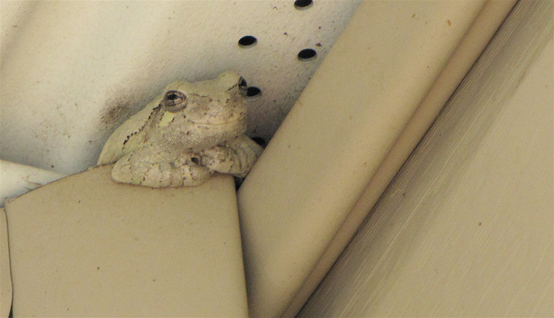 Papa to The Tadpoles We're Raising - Eastern Gray Tree Frog Blends Into Whatever Color is Next to Him - This is in the eaves of our deck roof.  8-21-10