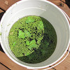 Tadpoles Moved to 5-Gallon Bucket with Water Lettuce and Duckweed and Water From Our Pond   8-6-10<br /> We found out later that you need a litre of water for every two tadpoles, so we had to put some of them into our pond and keep only 14 in the bucket.