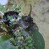 Tadpole With Front and Back Legs Begins to Breathe Outside of Water - Notice He Still Has Long Tail  9-24-10 at 6:20 PM