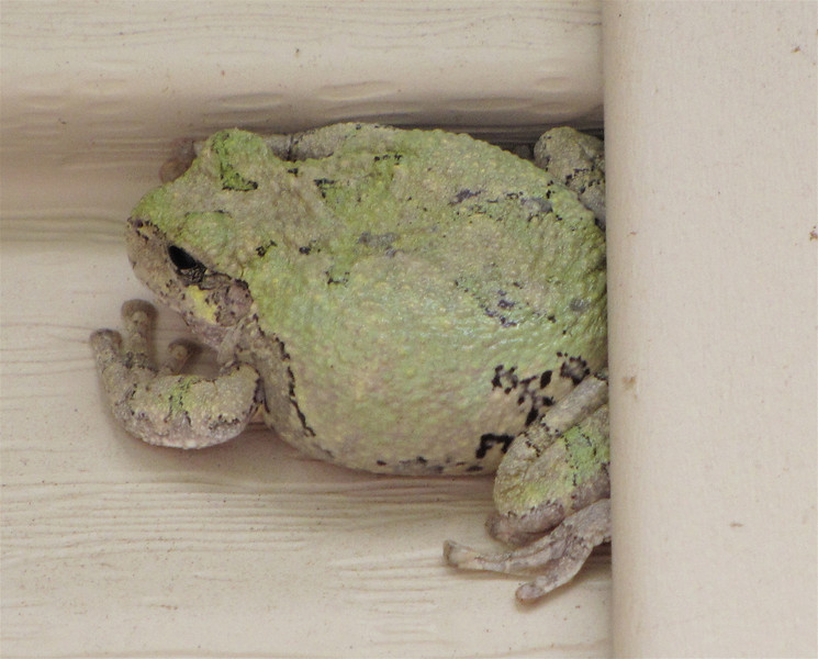 Eastern Gray Tree Frog Backing Into a Niche In Siding Trim and Changing Color to Match It