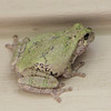 Eastern Gray Tree Frog On Siding on Deck - Is It Watching Over The Release of Its Offspring   9-26-10