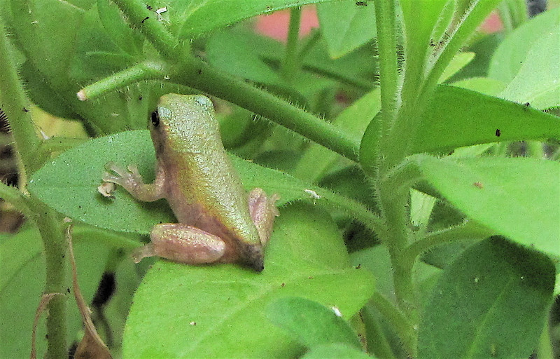 Frog Release Number One in Petunia Pot - Lots of Bugs There - No Chemicals   9-25-10