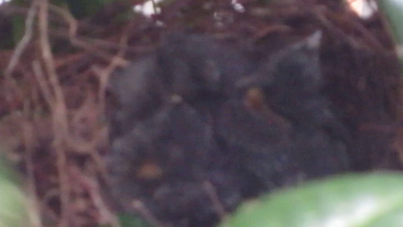 Video: Day 9 for Baby Catbirds - 7/27/14 <br> Video begins blurred but notice how they seem to be breathing in unison.  It gets clearer as the parent bird comes in with some food.  Look at those deep brightly-colored throats.  You can't miss your target there!