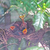 Mama Catbird and Babies on Day Four - 7/22/14