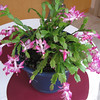 Christmas Cactus in Bloom a Year After Bushell's Gave It To Us