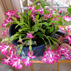 Christmas Cactus From The Bushell's<br /> There's a heritage petunia plant in there also that I'm hoping will bloom this winter indoors.  There's also a small fern that somehow got planted while the pot was on the deck during good weather.  It's certainly a prolific bloomer and we love it!