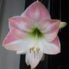 Amaryllis Bloom - Called Apple Blossom 1-19