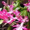 Closeup of Christmas Cactus Blooming