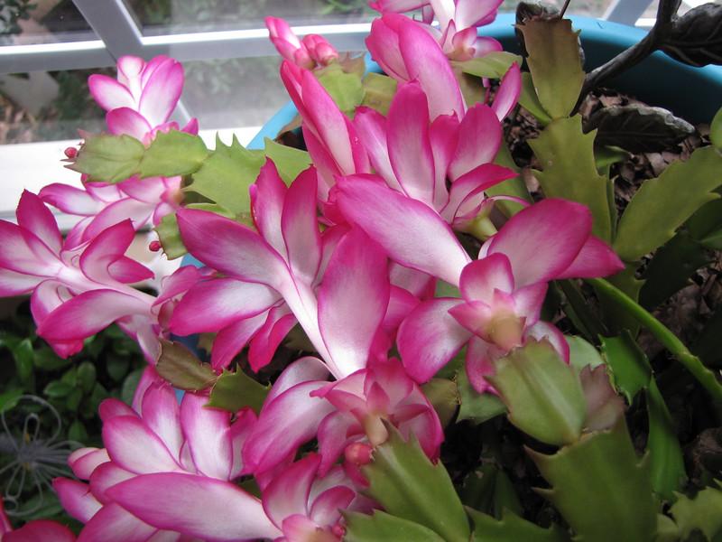 Closeup of Christmas Cactus in Bloom