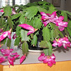 From The Bushell's - Christmas Cactus Really Blooming Beautiful