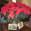 HUGE Poinsettia for $14.99 - Amazing!
