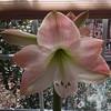 First Amaryllis Flower Opens - 1/20/15