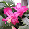 Bushell Christmas Cactus First Bloom