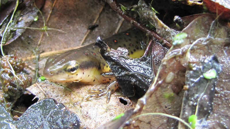 Red-spotted Newt or Eastern Newt (Notophthalmus viridescens)  in Leaves We Took From Pond - What's in Our Pond Day