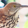 Brown Thrasher - Entertained With His Reflection in the Dining Room Window on the Front Porch_19