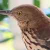 Brown Thrasher - Entertained With His Reflection in the Dining Room Window on the Front Porch_21