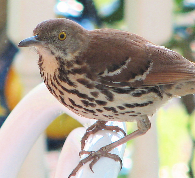 Brown Thrasher - Entertained With His Reflection in the Dining Room Window on the Front Porch_17