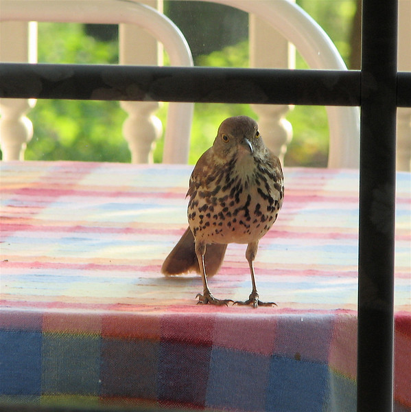 I Love Only YOU, I Truly DO - Brown Thrasher